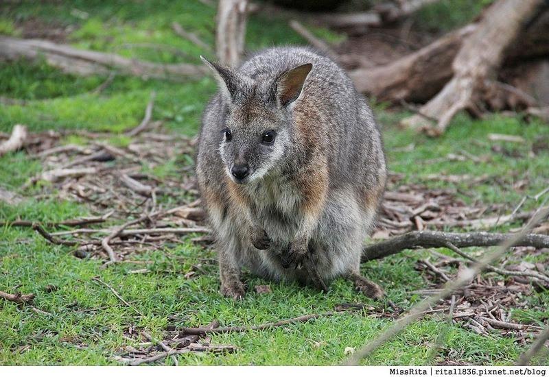 KKDAY 墨爾本自由行 melbourne gowesttours kkDAY墨爾本 墨爾本企鵝 澳洲自助 墨爾本自助 菲利浦島 菲利浦島交通 墨爾本必去 墨爾本酒莊 月光野生動物 Nobbies 墨爾本企鵝歸巢 墨爾本一日遊 菲利普島一日遊,小企鵝歸巢遊行49