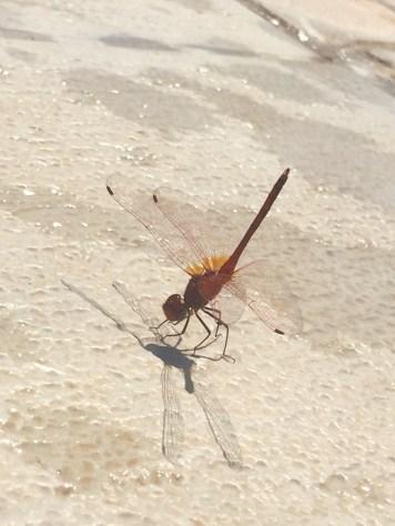 Dragonflies 🐝