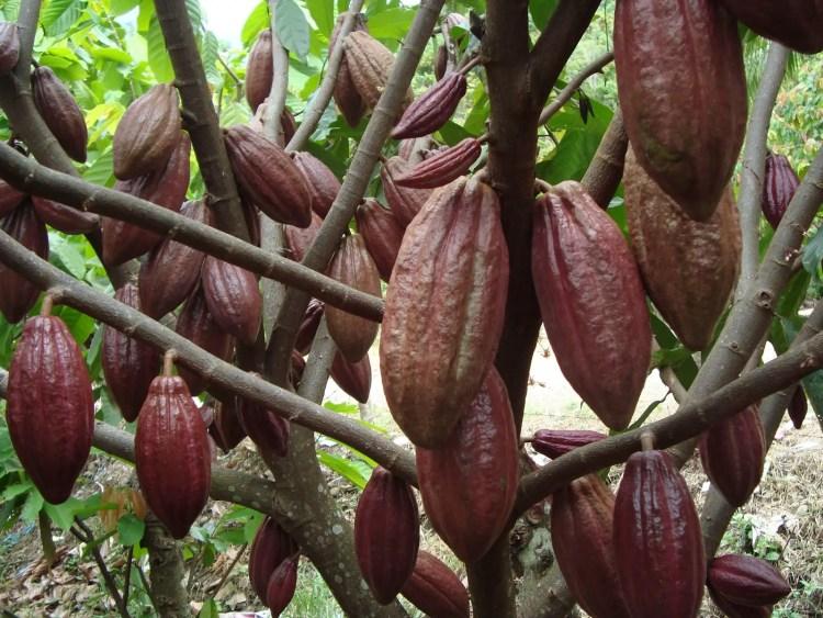Kakao Asli Aceh