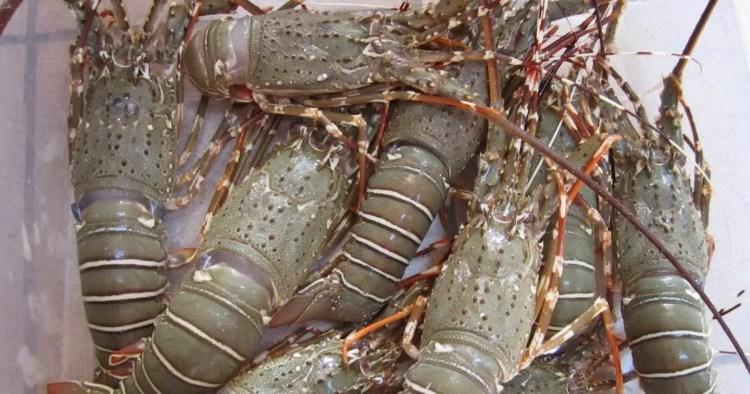 Udang atau Lobster - Mister Exportir