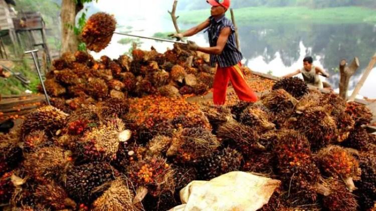 Kelapa Sawit Asal Aceh