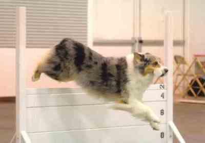 Sheila's Aussie Jay jumping a high jump.