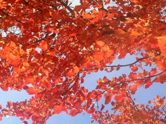 Brillant red leaves