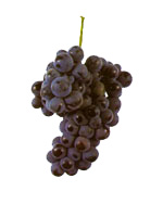 borracal grapes