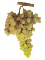 Arinto Grapes