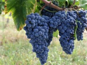 Espadeiro Grapes