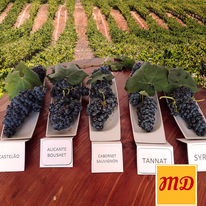Portuguese grapes varieties for red wine
