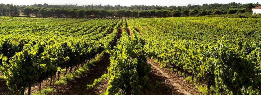 Portuguese Vineyard