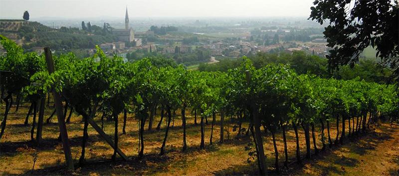 Vineyard in Veneto