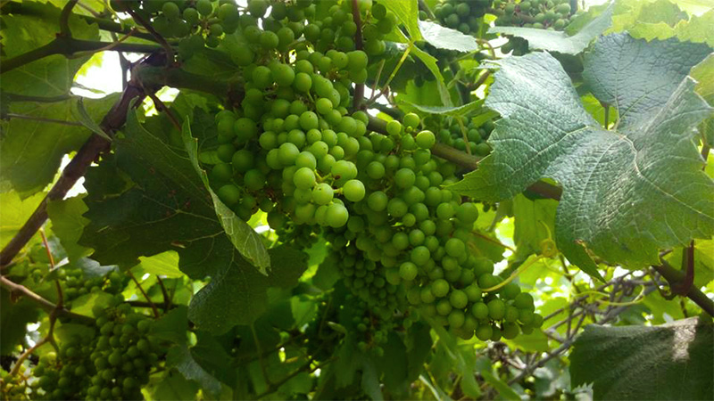 Vineyard White Grapes