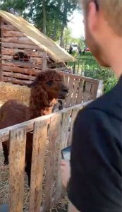 satebakker-ingmar-is-dol-op-alpacas
