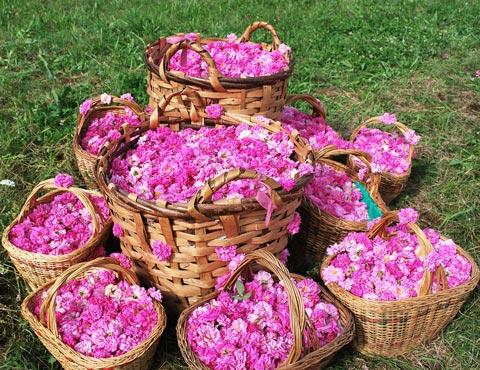 Bulgarian rosefestival