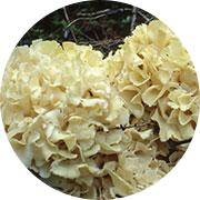 Blossom Mushroom Extract