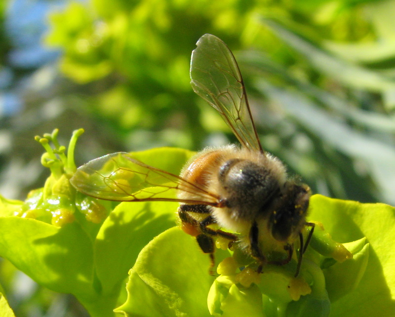 Honeybee collecting pollen from gopher spurge