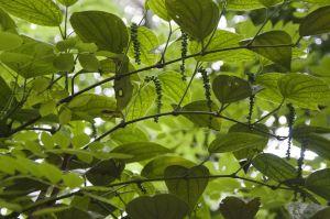 planta pimineta