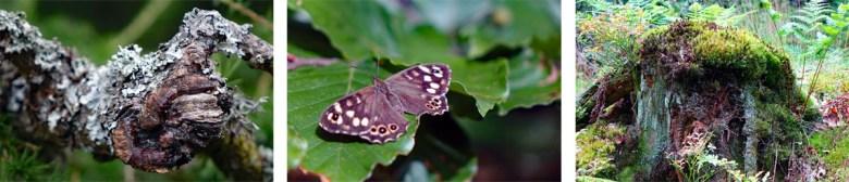 Waldbrettspiel Schmetterling und Moose auf dem Waldhistorischen Lehrpfad im Naturpark Steinwald