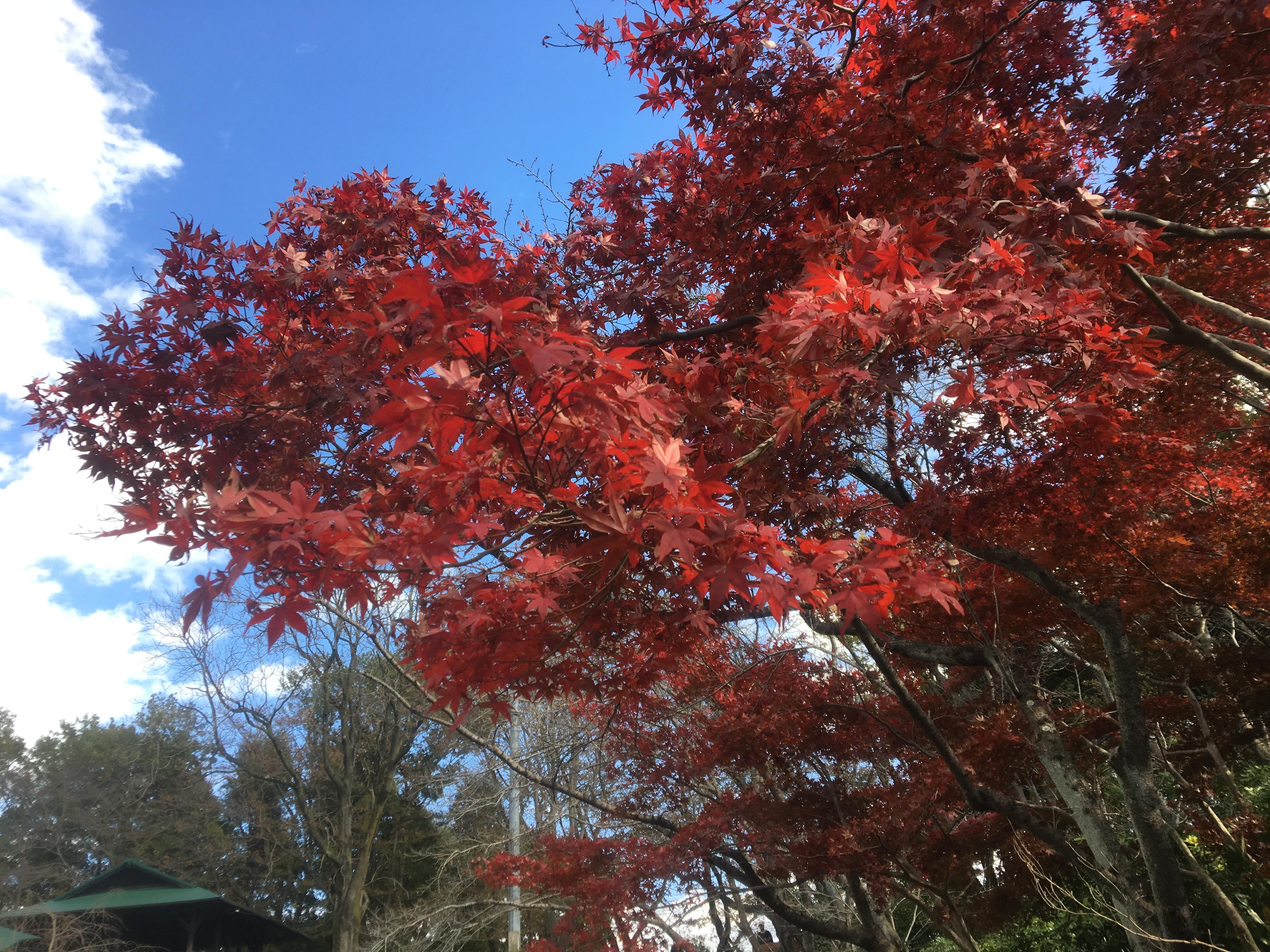 逆風に負けるな上尾市4 紅葉が見ごろ!上尾丸山公園