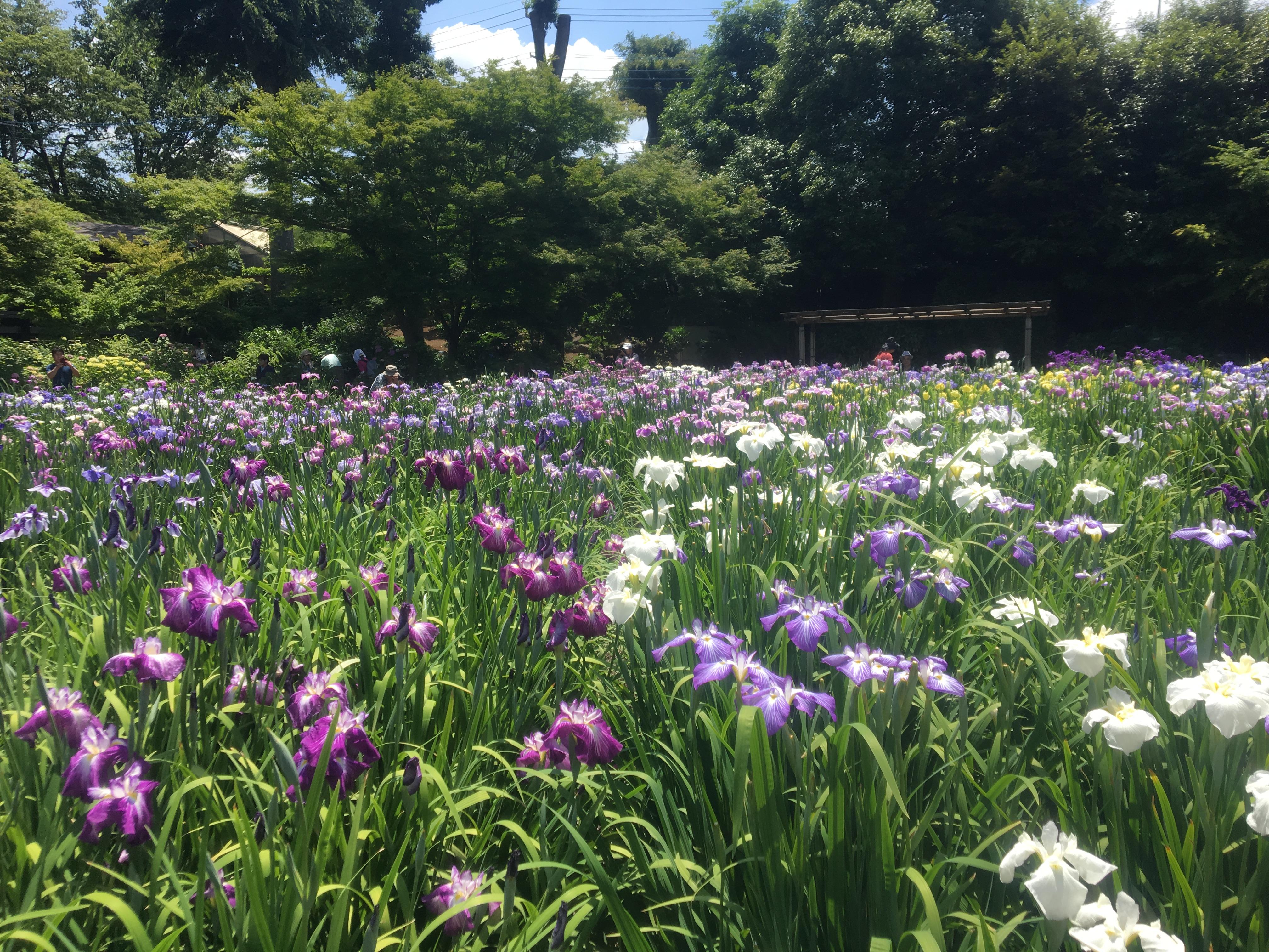 6月だけの秘密の花園!染谷花しょうぶ園