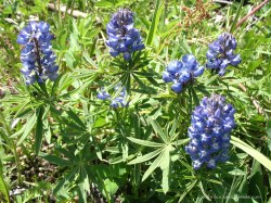 Wild Lupine in Wyoming