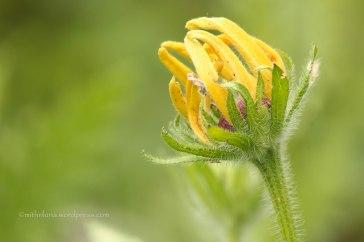 Gloriosa Daisy in my garden