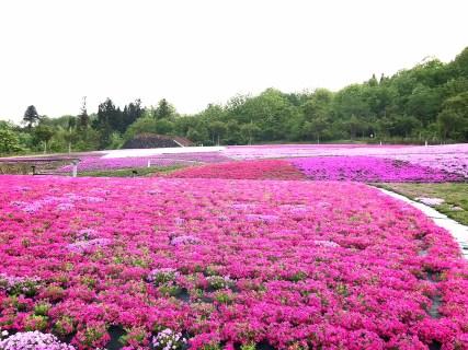 魚沼芝桜まつりが今日から開催されますよ!