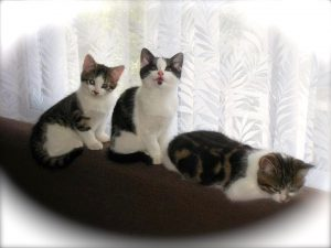 Our 3 cats Sukie, Minnie & Tommy aka Mitosu when they where kittens.
