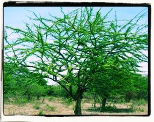 El misterio del árbol de Jícaro