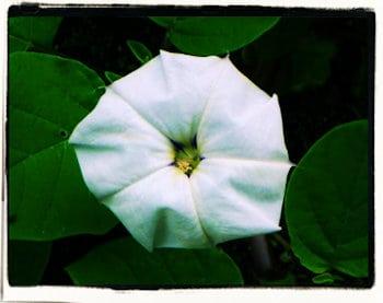 El toloache (La belladona)