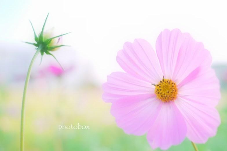 秋桜(8)