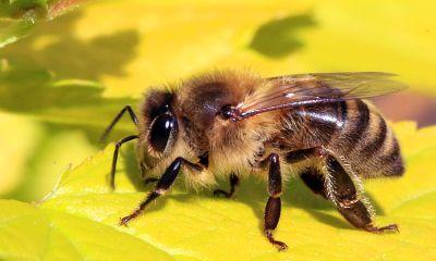 Simbolismo de la abeja