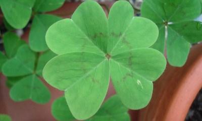 Simbología del trébol de cuatro hojas