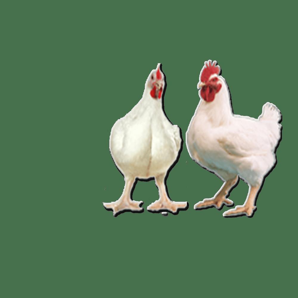 9000+ Gambar Ayam Broiler HD Terbaru