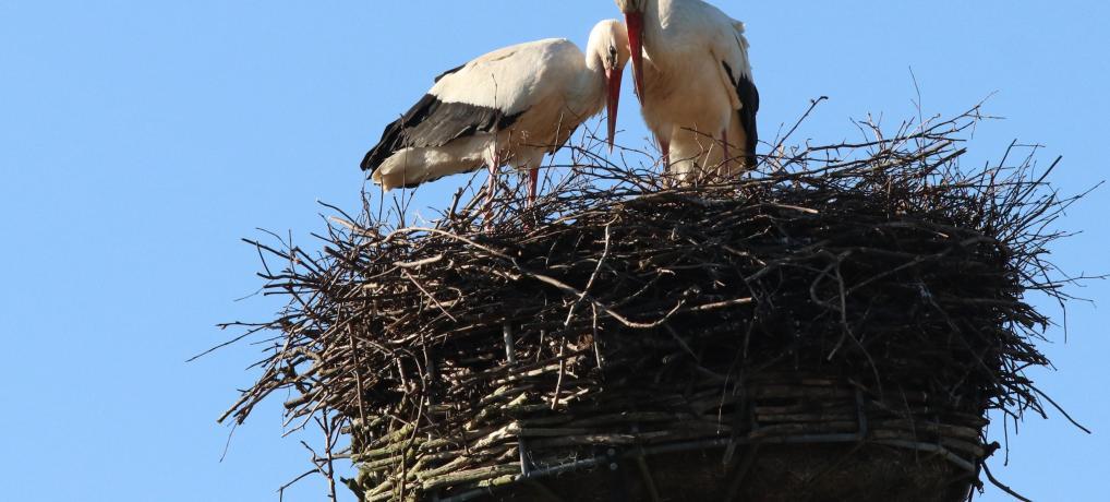PODCAST/VIDEO – Storkeparret har indtaget Sønderjylland