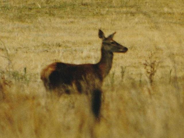 deer in Mitta Valley