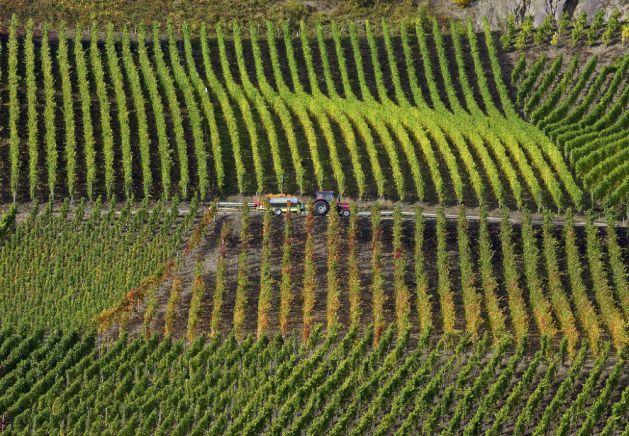 Im Bopparder Hamm läuft gerade die Weinlese. Foto: Romantischer Rhein Tourismus / Friedrich Gier