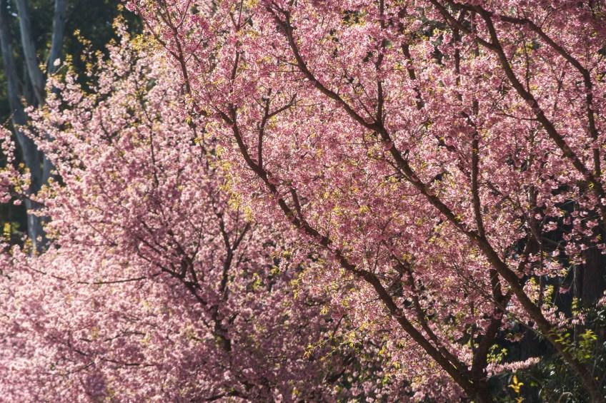 Festa da cerejeira homenageia tradição japonesa em Minas Gerais