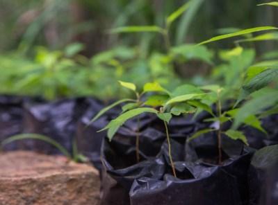 As mudas mais selecionadas e bem cultivadas de Minas Gerais