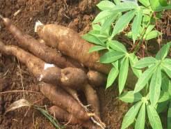 Gagner sa vie en produisant du manioc - miwoeGroup Togo