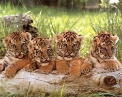 cubs2