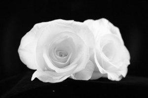 white-roses-