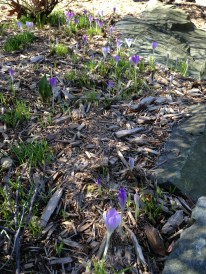 Searching for signs of Spring in my garden