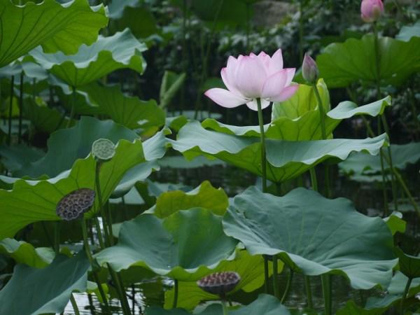 ハス 2013.8.18 東京都上野公園不忍池