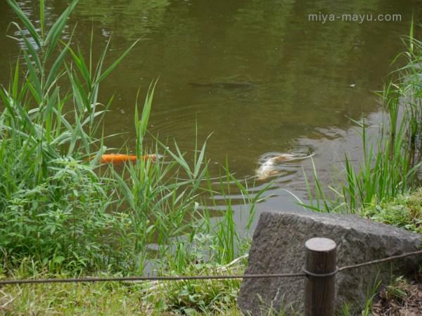 心字池のコイ 2014.8.16 東京都千代田区日比谷公園