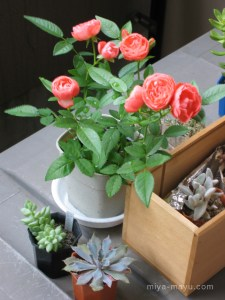 ミニバラと多肉植物 2005.5.22 東京都中野区
