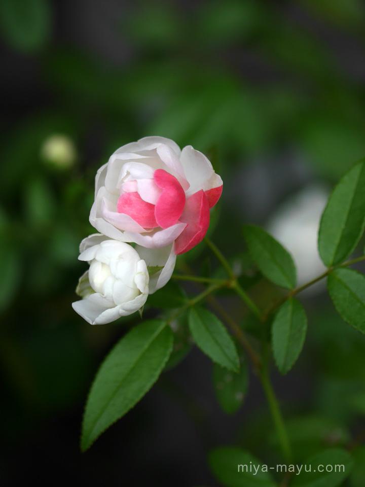 バラの豆知識004:DNAのイタズラ...