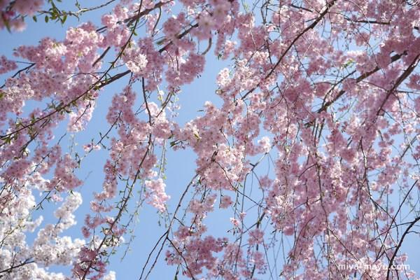 150402sidare-sakura