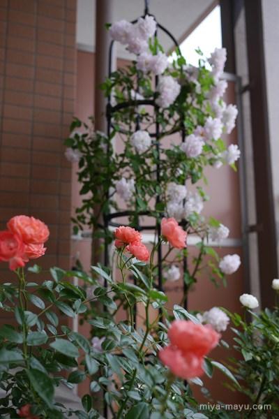 我が家のバラ(左下レオニーラメッシュ、右上ブラッシュノアゼット、右下シュネープリンセス) 2015.05.15 東京都練馬区