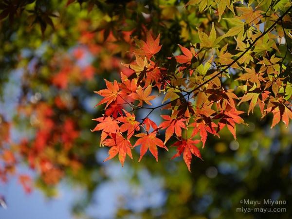 モミジの紅葉 2015.11.28 東京都文京区・六義園