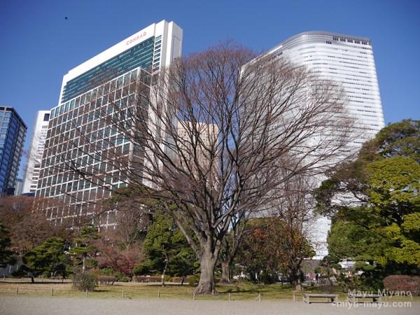 葉を落としたケヤキの木 2015.12.20 東京都港区・浜離宮恩賜庭園