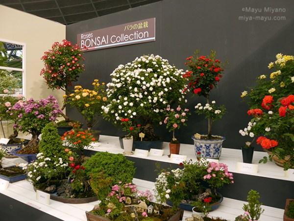 毎年人気、熟練の技によるバラ盆栽の数々